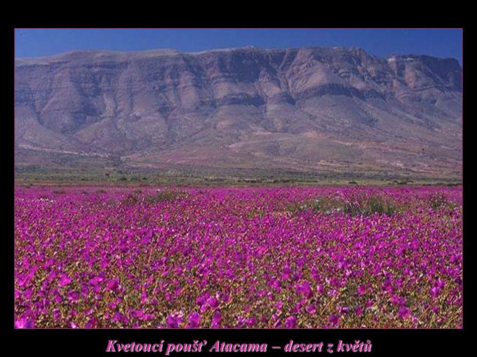 Kvetoucí poušť Atacama – desert z květů