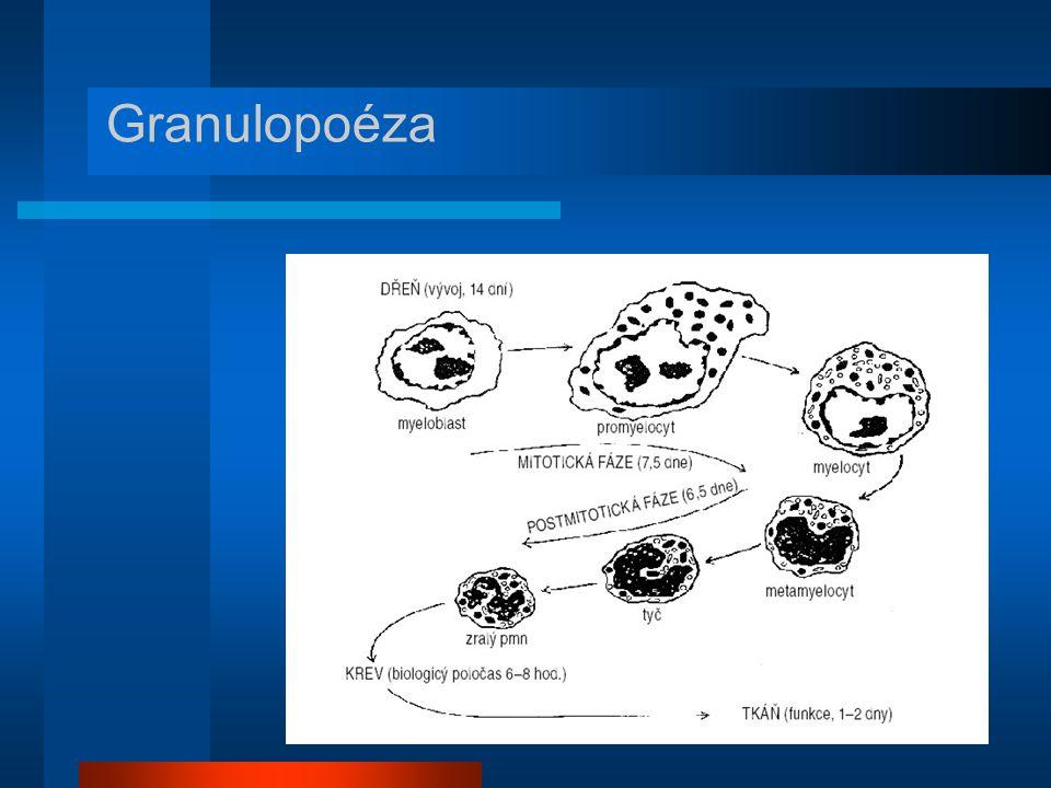 Granulopoéza