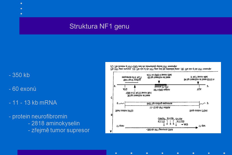 Struktura NF1 genu - 350 kb - 60 exonů - 11 - 13 kb mRNA - protein neurofibromin - 2818 aminokyselin - zřejmě tumor supresor