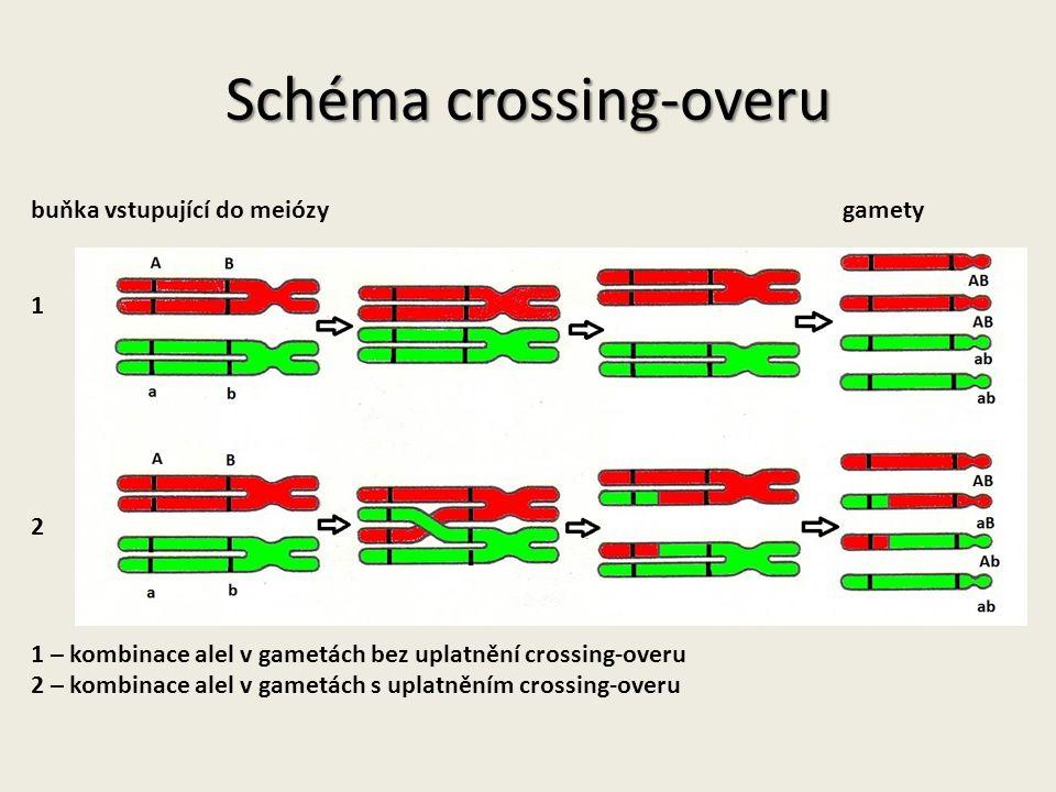 Schéma crossing-overu buňka vstupující do meiózy gamety 1 2 1 – kombinace alel v gametách bez uplatnění crossing-overu 2 – kombinace alel v gametách s uplatněním crossing-overu