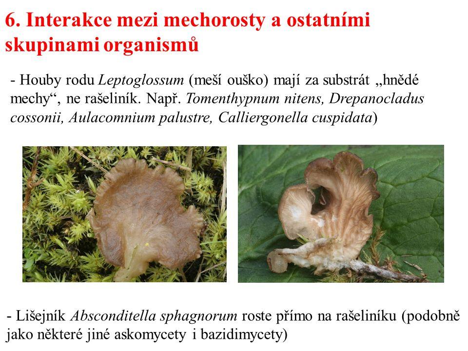 6. Interakce mezi mechorosty a ostatními skupinami organismů - Lišejník Absconditella sphagnorum roste přímo na rašeliníku (podobně jako některé jiné