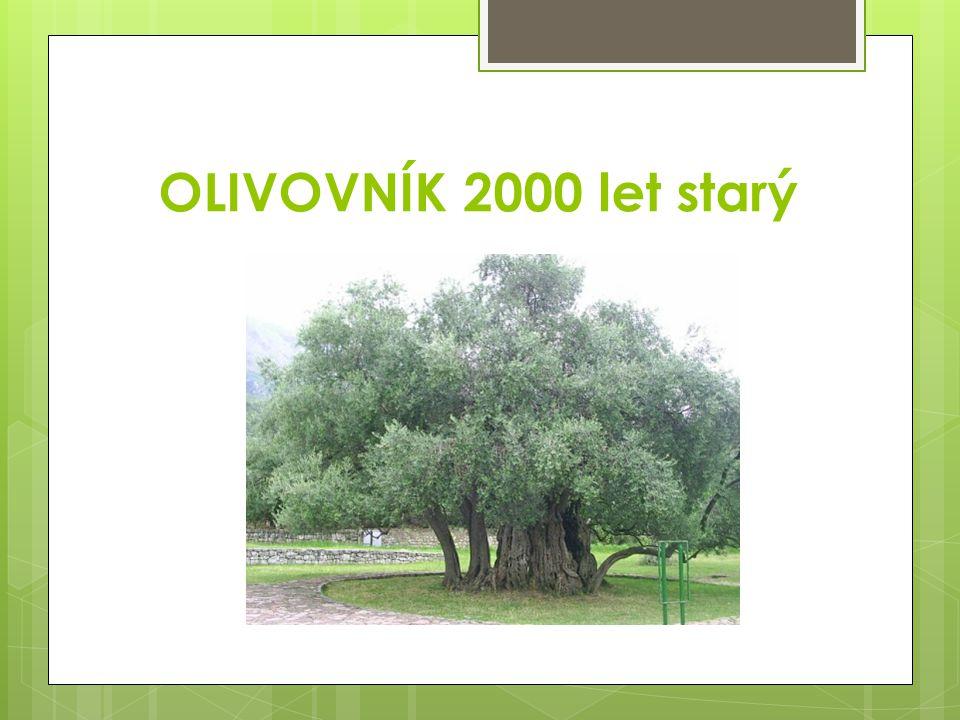 OLIVOVNÍK 2000 let starý