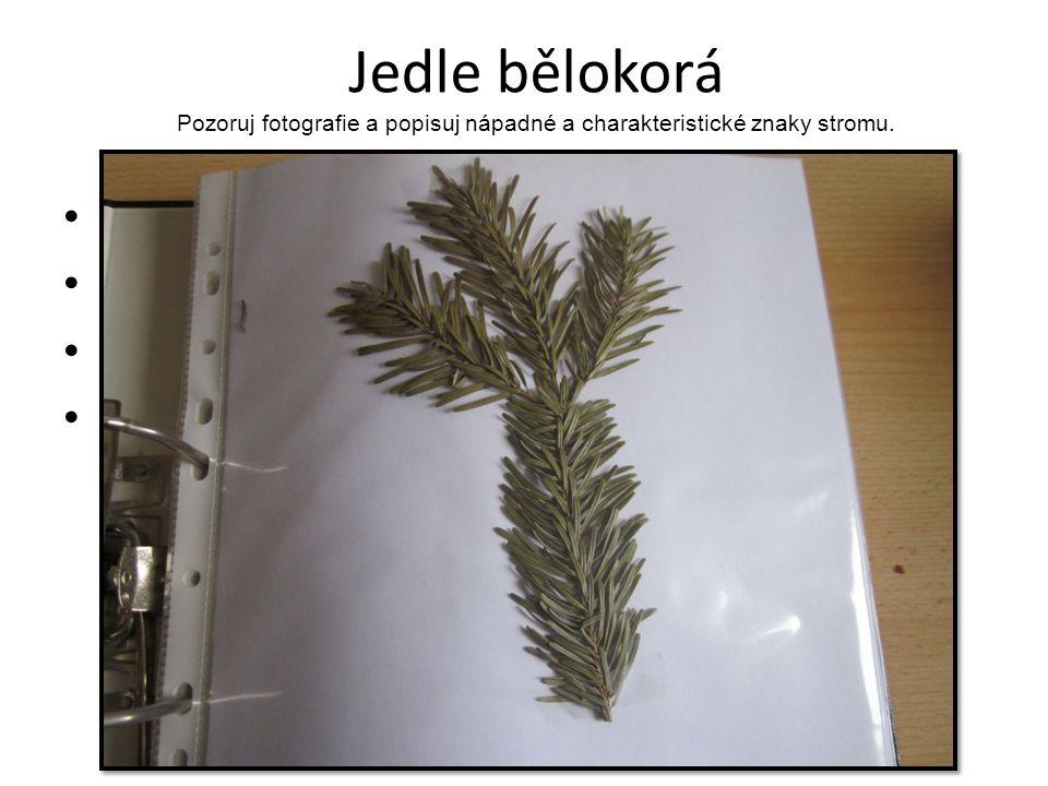 Jedle bělokorá Pozoruj fotografie a popisuj nápadné a charakteristické znaky stromu. Méně pichlavé krátší jehlice Šiška roste směrem nahoru Šiška je p