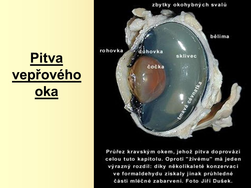 Pitva vepřového oka