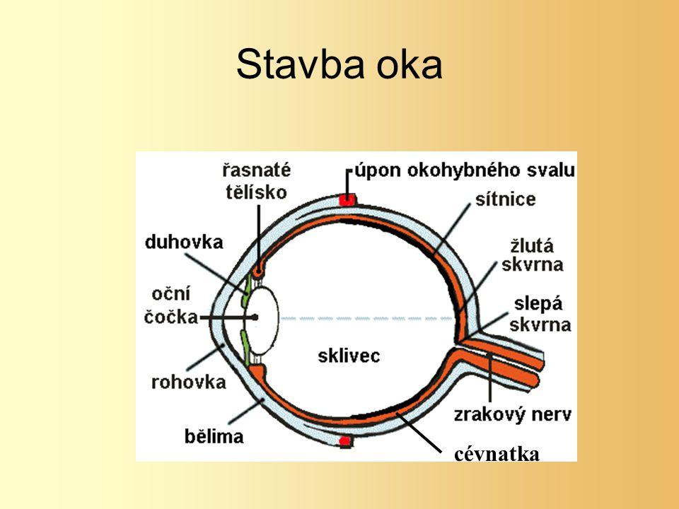 Bělima Rohovka Cévnatka Řasnaté tělísko Sítnice: tyčinky, čípky Duhovka Oční čočka Sklivec Zrakový nerv Žlutá skvrna Slepá skvrna