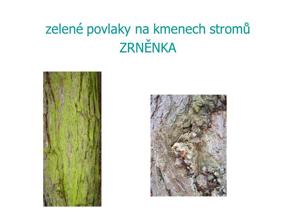 zelené povlaky na kmenech stromů ZRNĚNKA