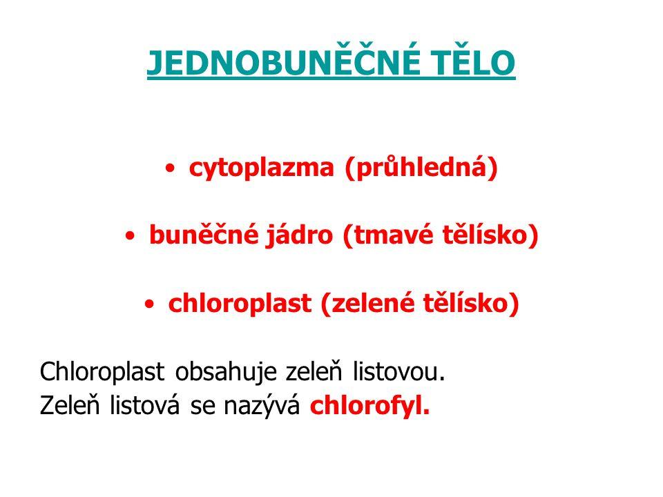 JEDNOBUNĚČNÉ TĚLO cytoplazma (průhledná) buněčné jádro (tmavé tělísko) chloroplast (zelené tělísko) Chloroplast obsahuje zeleň listovou. Zeleň listová
