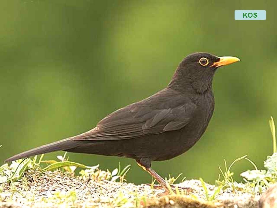 Mezi moje záliby také patří pozorování a fotografování ptáků. Zvláště při krásném ránu na mé zahradě a potom k večeru, mne navštěvují různí ptáčci, a