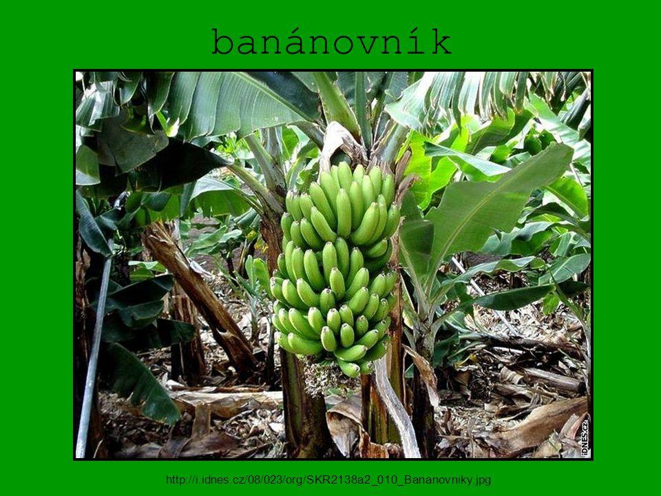 banánovník http://i.idnes.cz/08/023/org/SKR2138a2_010_Bananovniky.jpg