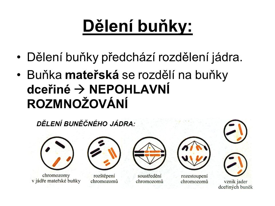 Dělení buňky: Dělení buňky předchází rozdělení jádra.