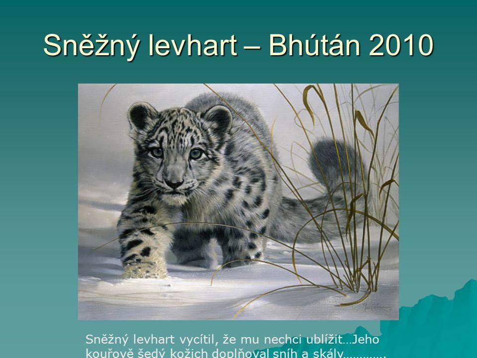 Sněžný levhart – Bhútán 2010 Sněžný levhart vycítil, že mu nechci ublížit…Jeho kouřově šedý kožich doplňoval sníh a skály………….
