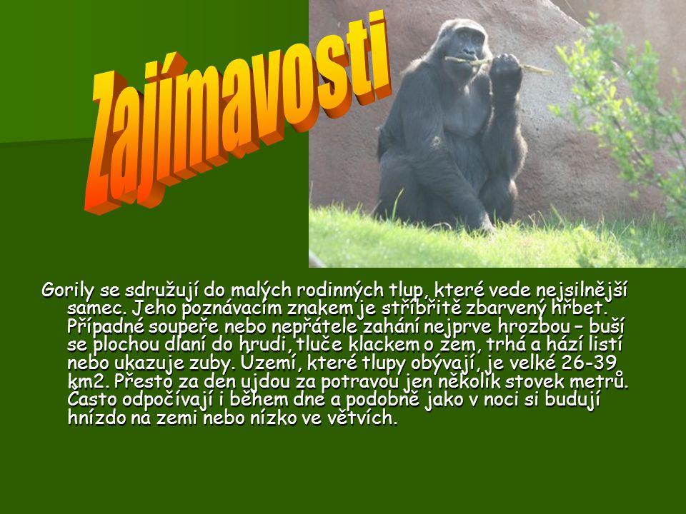 Rozm ě ry: Gorila je největší lidoop - samci dorůstají výšky až 180 cm a hmotnosti až 250 kg, samice jsou menší. Rozmnožování: Samice je březí 251-296