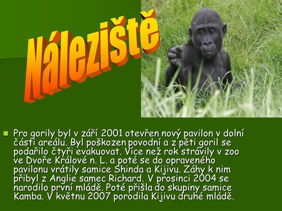 Gorily se sdružují do malých rodinných tlup, které vede nejsilnější samec. Jeho poznávacím znakem je stříbřitě zbarvený hřbet. Případné soupeře nebo n