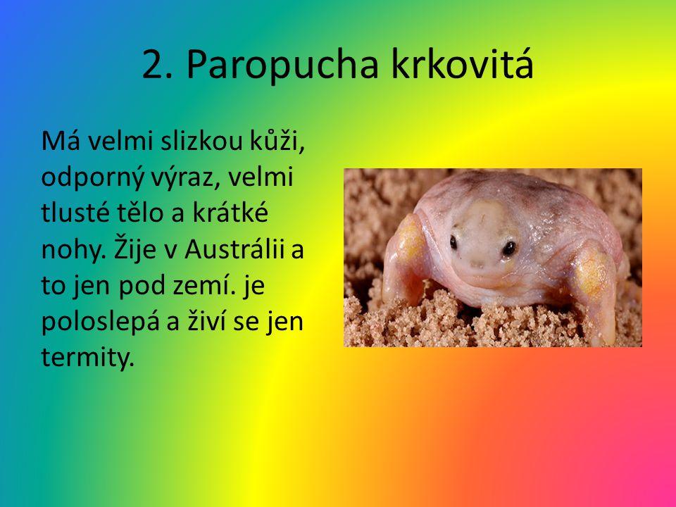 2. Paropucha krkovitá Má velmi slizkou kůži, odporný výraz, velmi tlusté tělo a krátké nohy. Žije v Austrálii a to jen pod zemí. je poloslepá a živí s