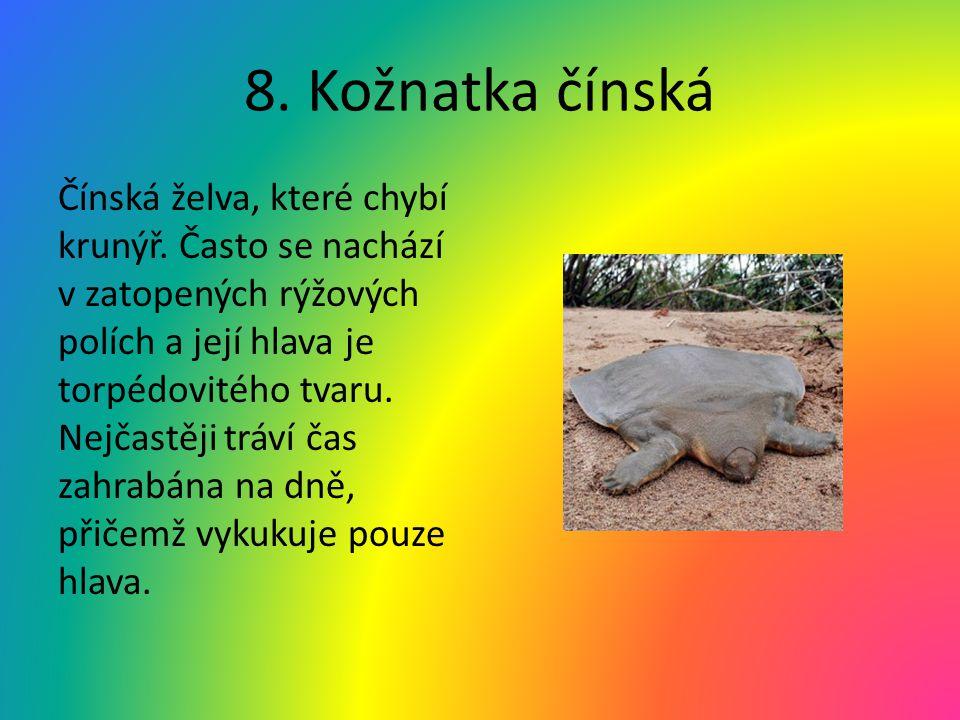 8. Kožnatka čínská Čínská želva, které chybí krunýř. Často se nachází v zatopených rýžových polích a její hlava je torpédovitého tvaru. Nejčastěji trá