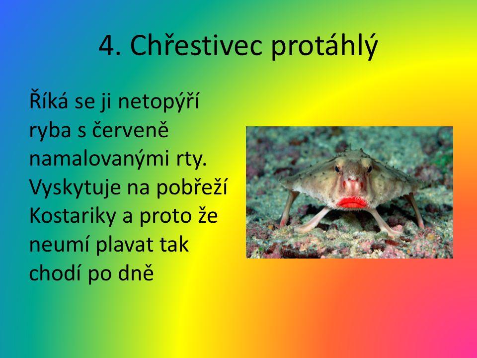 4. Chřestivec protáhlý Říká se ji netopýří ryba s červeně namalovanými rty. Vyskytuje na pobřeží Kostariky a proto že neumí plavat tak chodí po dně