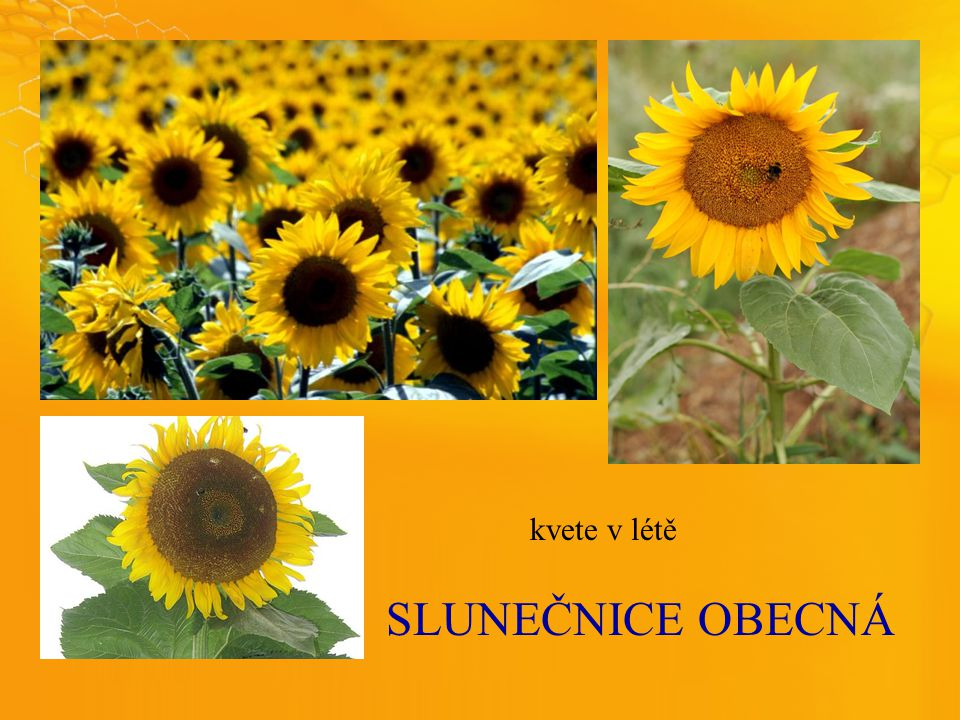 SLUNEČNICEOBECNÁ kvete v létě