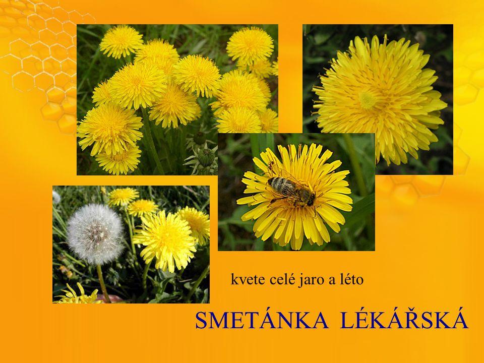 SMETÁNKALÉKÁŘSKÁ kvete celé jaro a léto