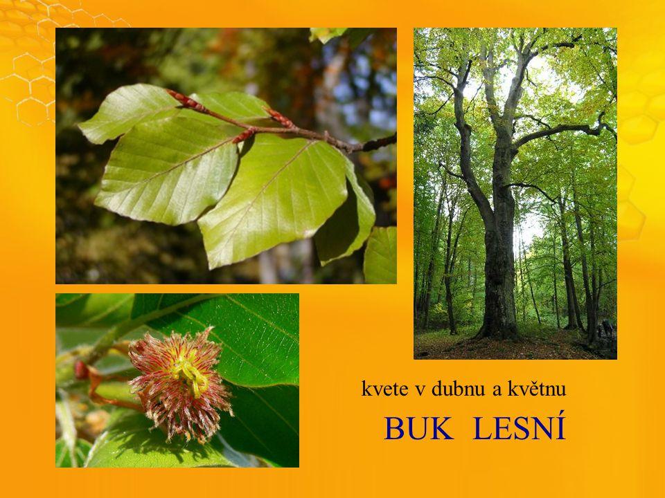 BUKLESNÍ kvete v dubnu a květnu