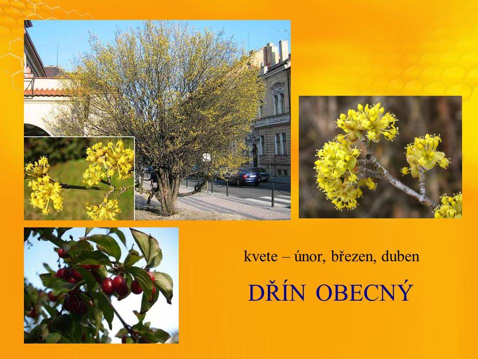 DŘÍNOBECNÝ kvete – únor, březen, duben