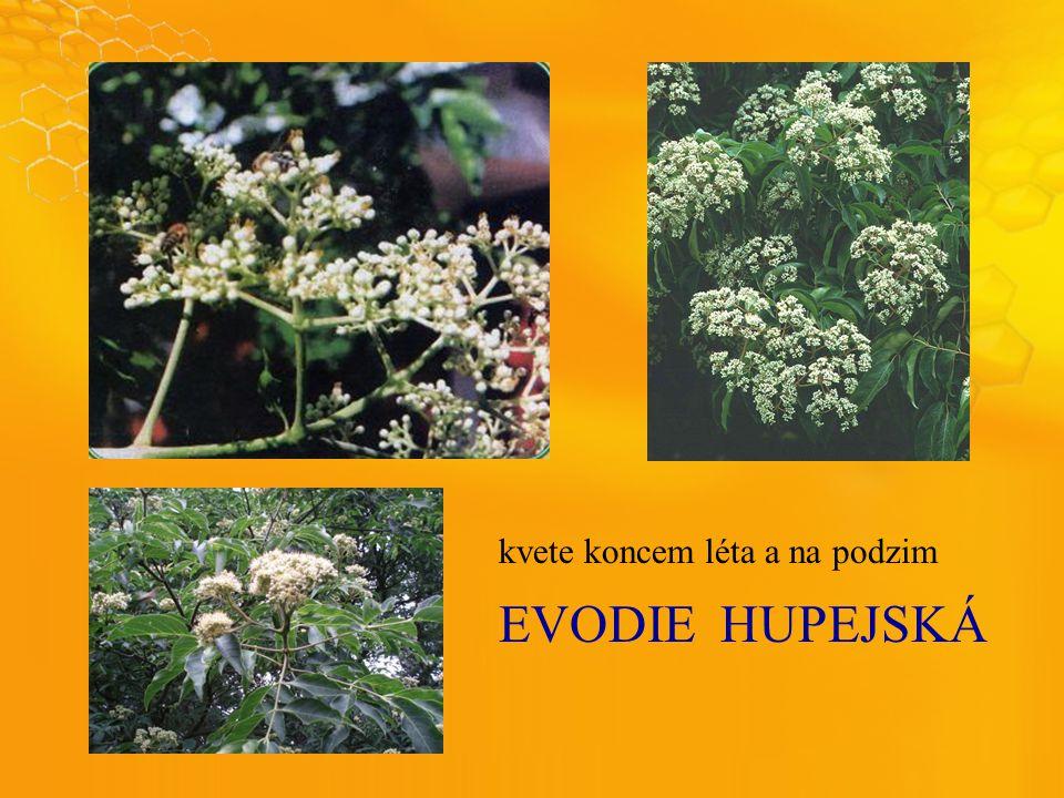 EVODIEHUPEJSKÁ kvete koncem léta a na podzim