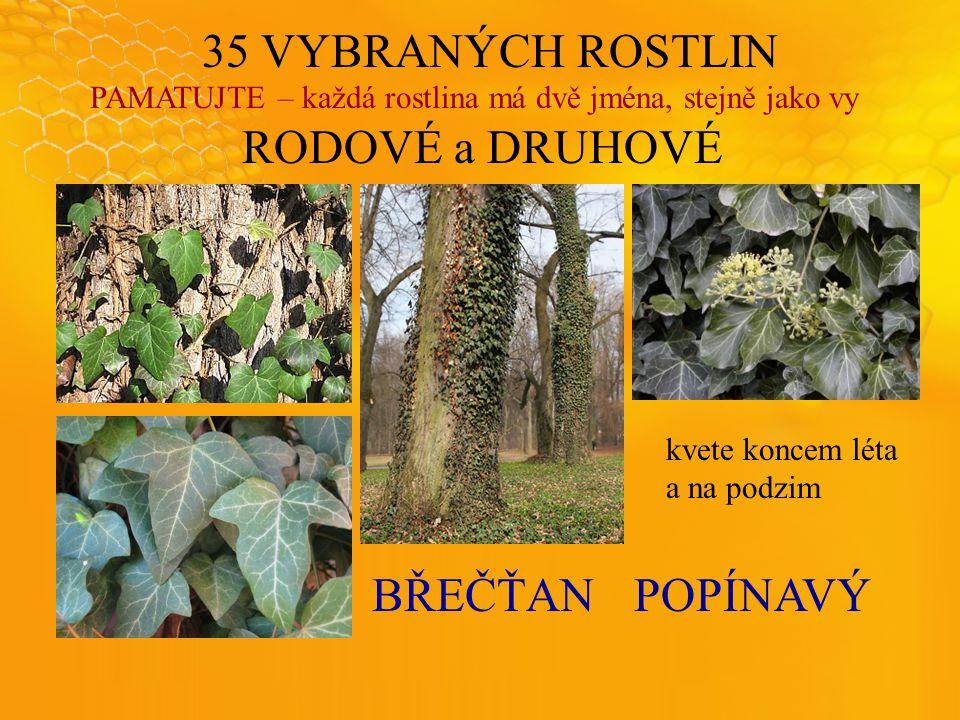 35 VYBRANÝCH ROSTLIN PAMATUJTE – každá rostlina má dvě jména, stejně jako vy RODOVÉ a DRUHOVÉ BŘEČŤANPOPÍNAVÝ kvete koncem léta a na podzim
