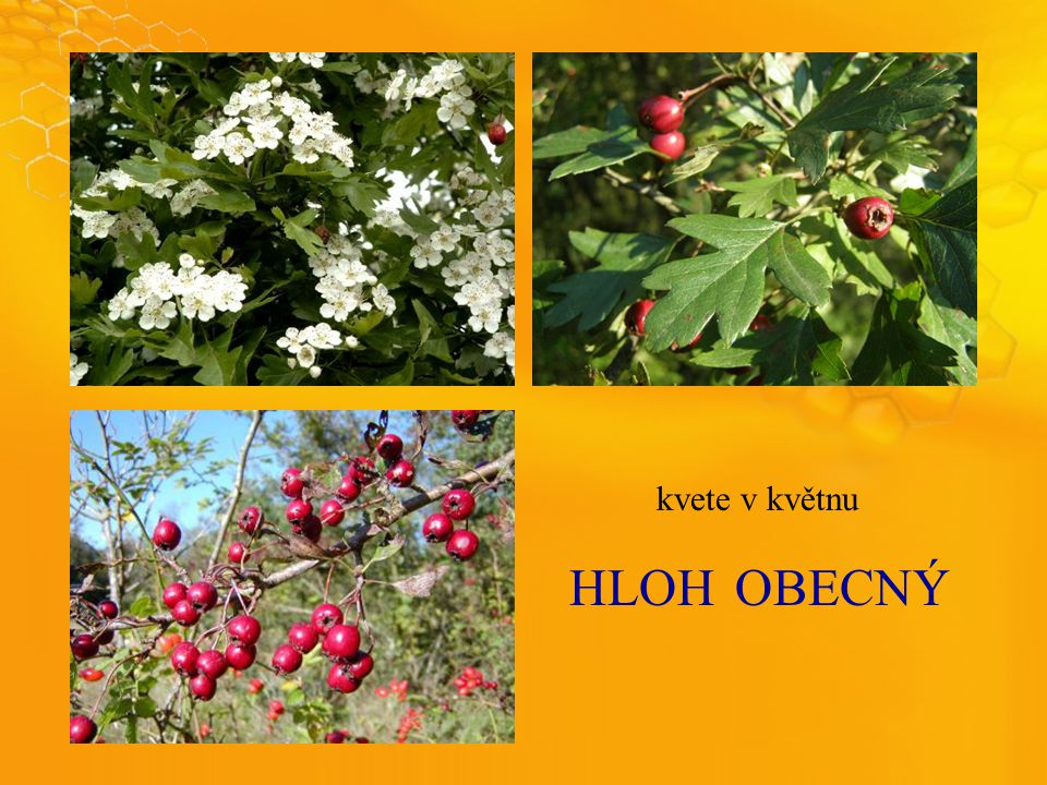 HLOHOBECNÝ kvete v květnu