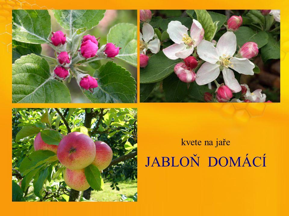 JABLOŇDOMÁCÍ kvete na jaře