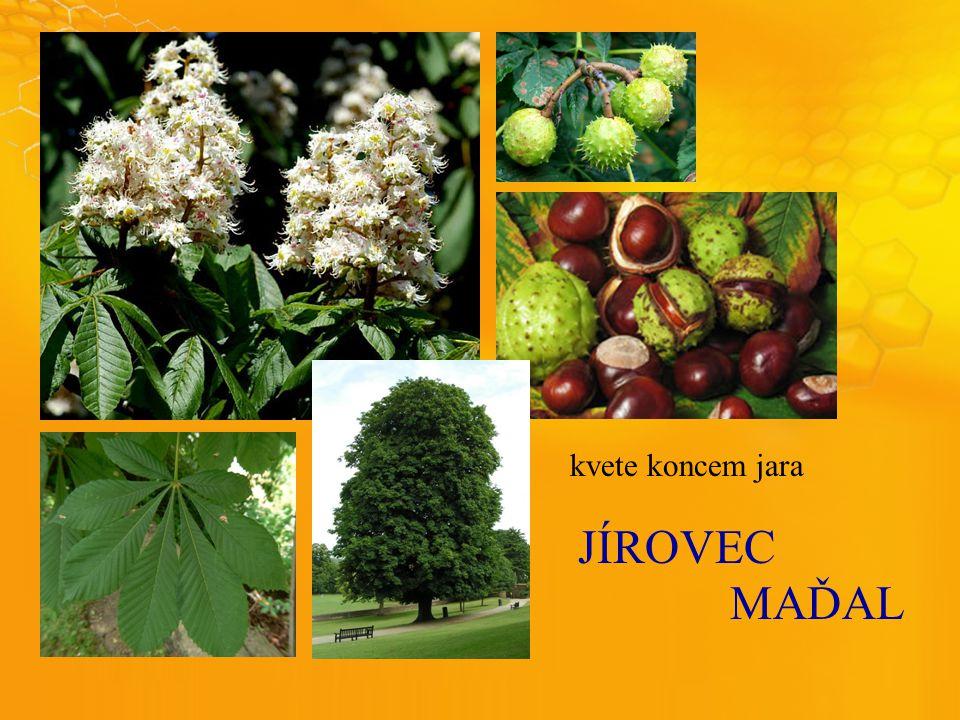 JÍROVEC MAĎAL kvete koncem jara