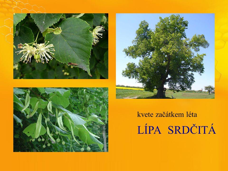 LÍPASRDČITÁ kvete začátkem léta