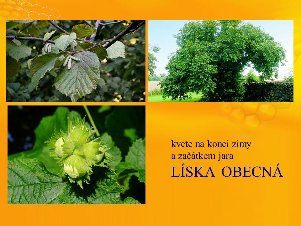 LÍSKAOBECNÁ kvete na konci zimy a začátkem jara