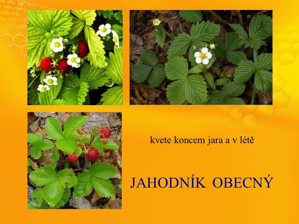 JAHODNÍKOBECNÝ kvete koncem jara a v létě