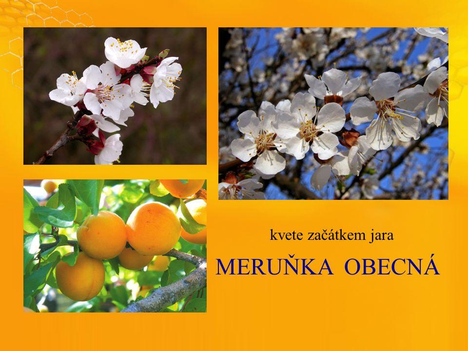MERUŇKAOBECNÁ kvete začátkem jara