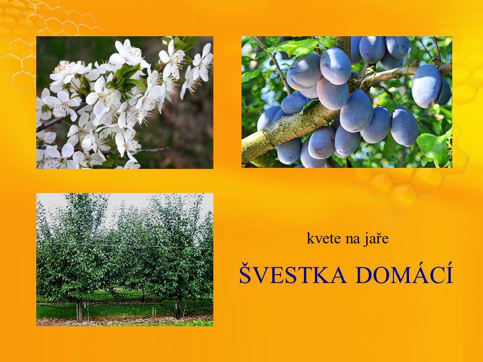 ŠVESTKADOMÁCÍ kvete na jaře