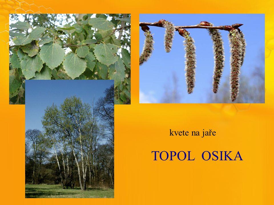 TOPOLOSIKA kvete na jaře