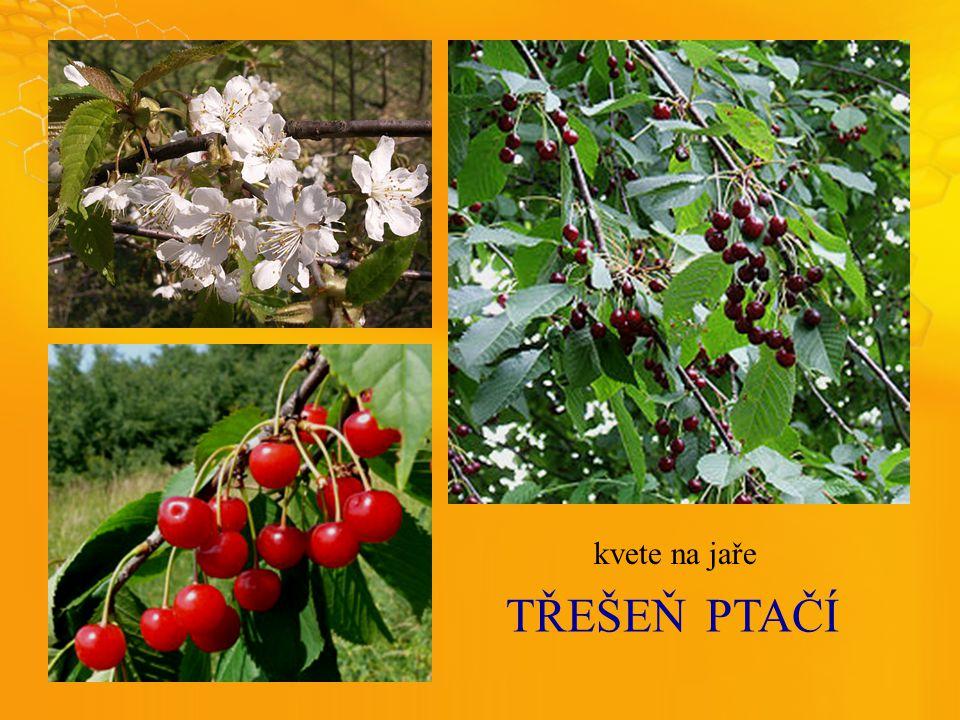 TŘEŠEŇPTAČÍ kvete na jaře