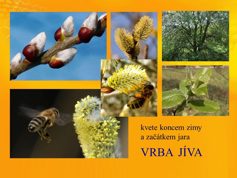 VRBAJÍVA kvete koncem zimy a začátkem jara
