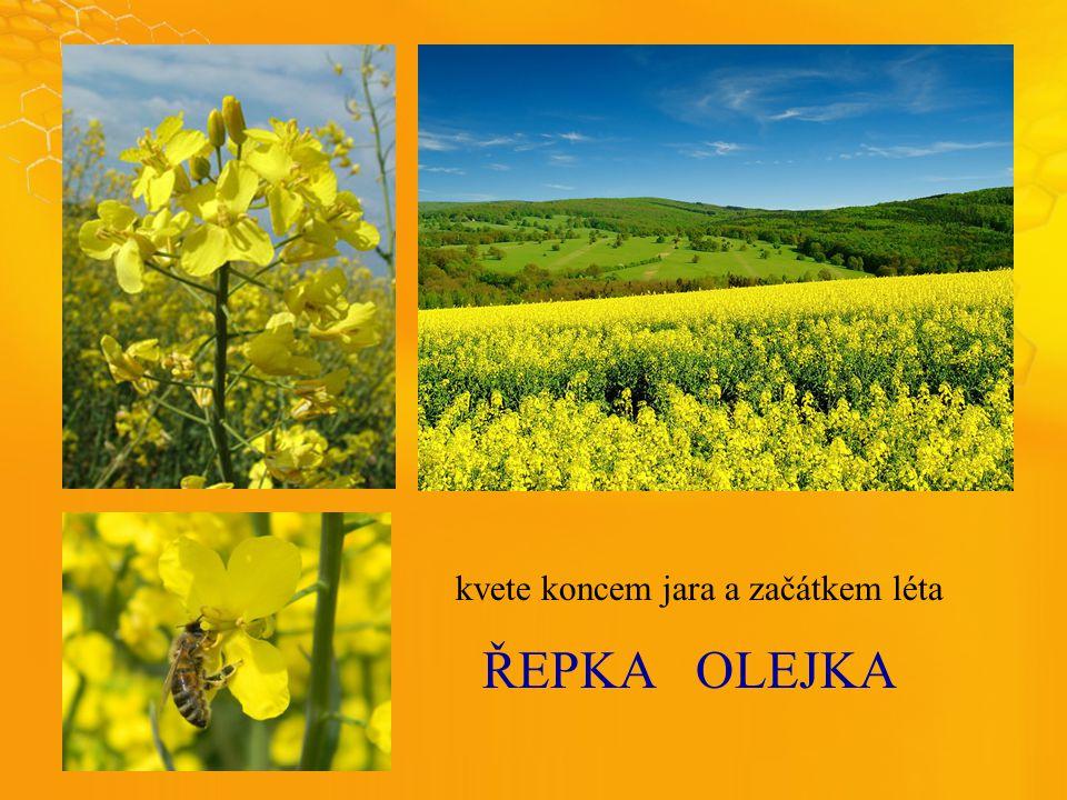 ŘEPKAOLEJKA kvete koncem jara a začátkem léta