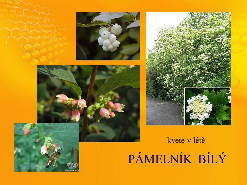 PÁMELNÍKBÍLÝ kvete v létě