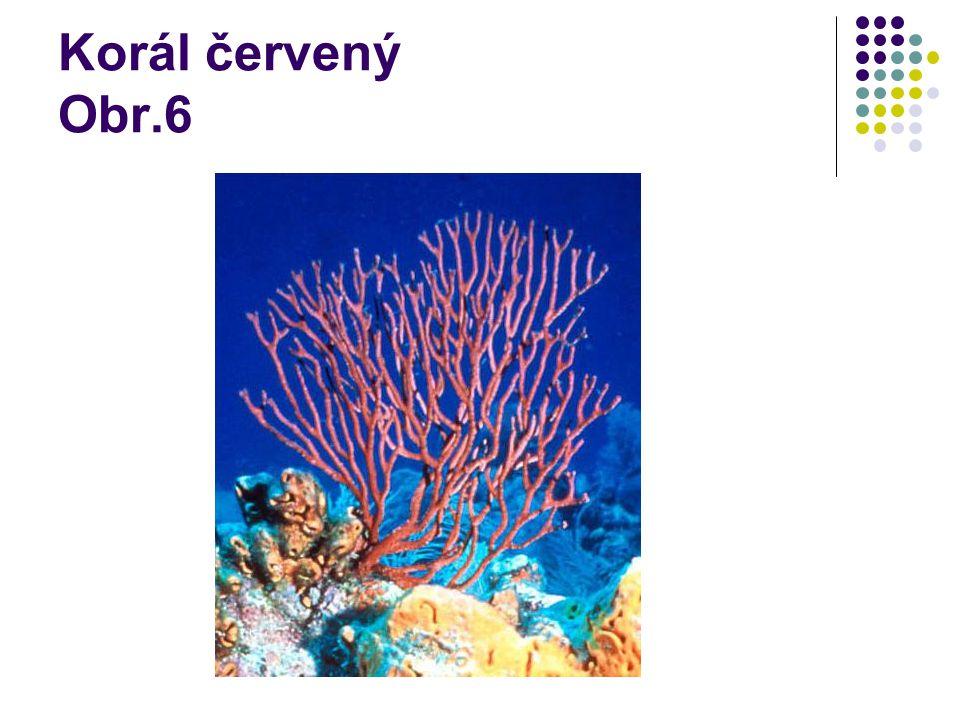 Korál červený Obr.6