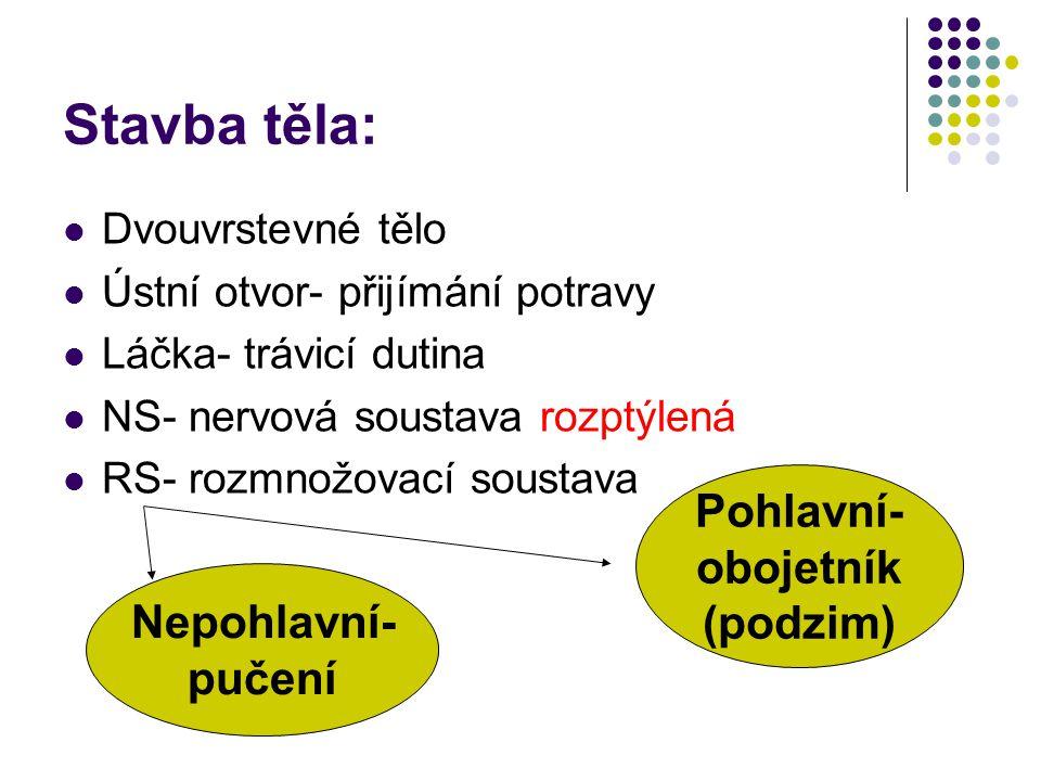 Stavba těla: Dvouvrstevné tělo Ústní otvor- přijímání potravy Láčka- trávicí dutina NS- nervová soustava rozptýlená RS- rozmnožovací soustava Nepohlav