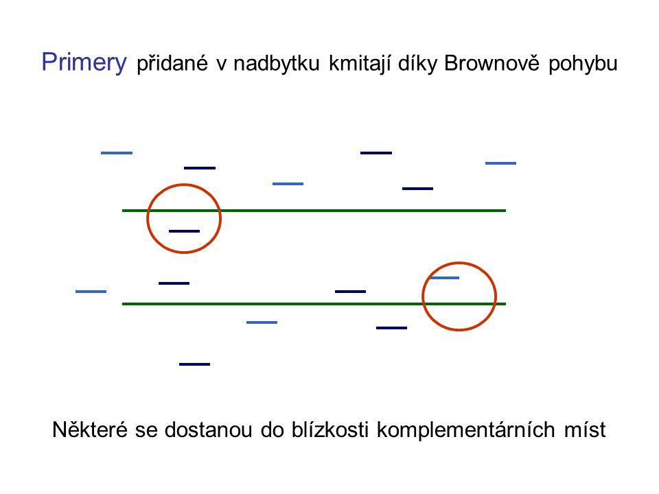 Primery přidané v nadbytku kmitají díky Brownově pohybu Některé se dostanou do blízkosti komplementárních míst