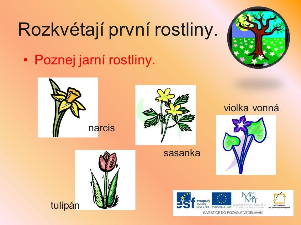 Rozkvétají první rostliny. Poznej jarní rostliny. narcis violka vonná tulipán sasanka
