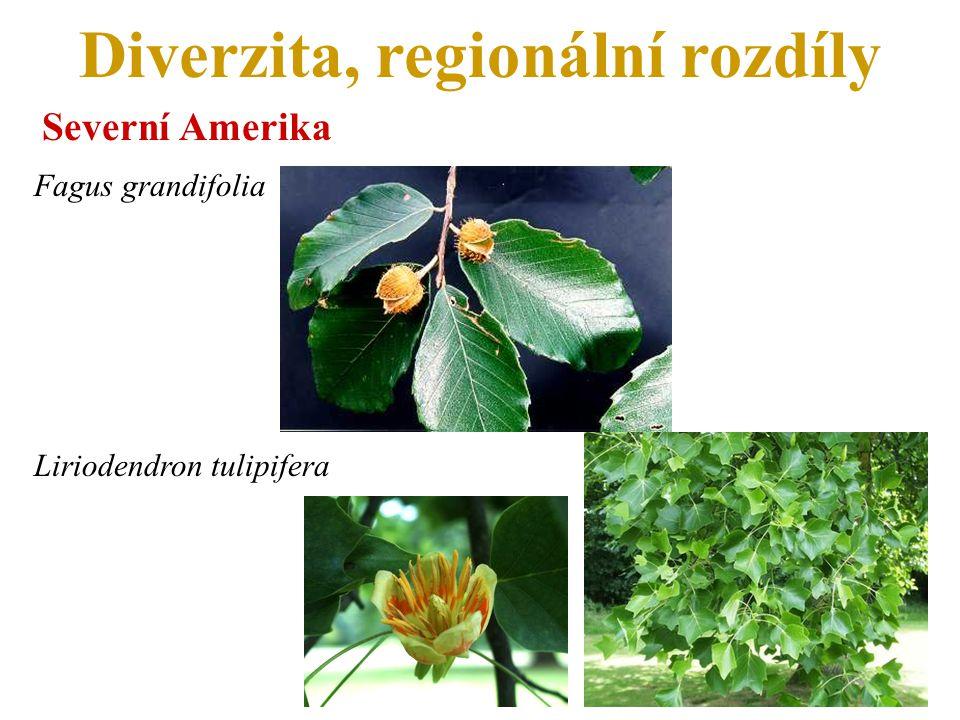 Diverzita, regionální rozdíly Severní Amerika Fagus grandifolia Liriodendron tulipifera