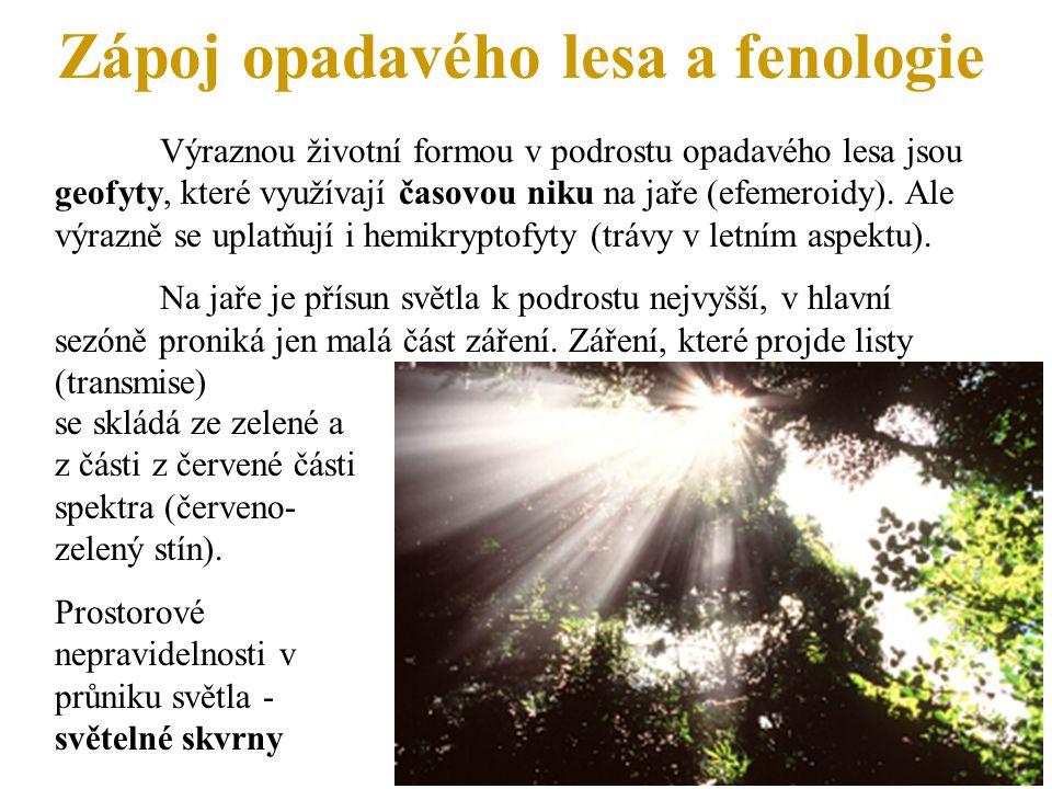 Zápoj opadavého lesa a fenologie Výraznou životní formou v podrostu opadavého lesa jsou geofyty, které využívají časovou niku na jaře (efemeroidy). Al
