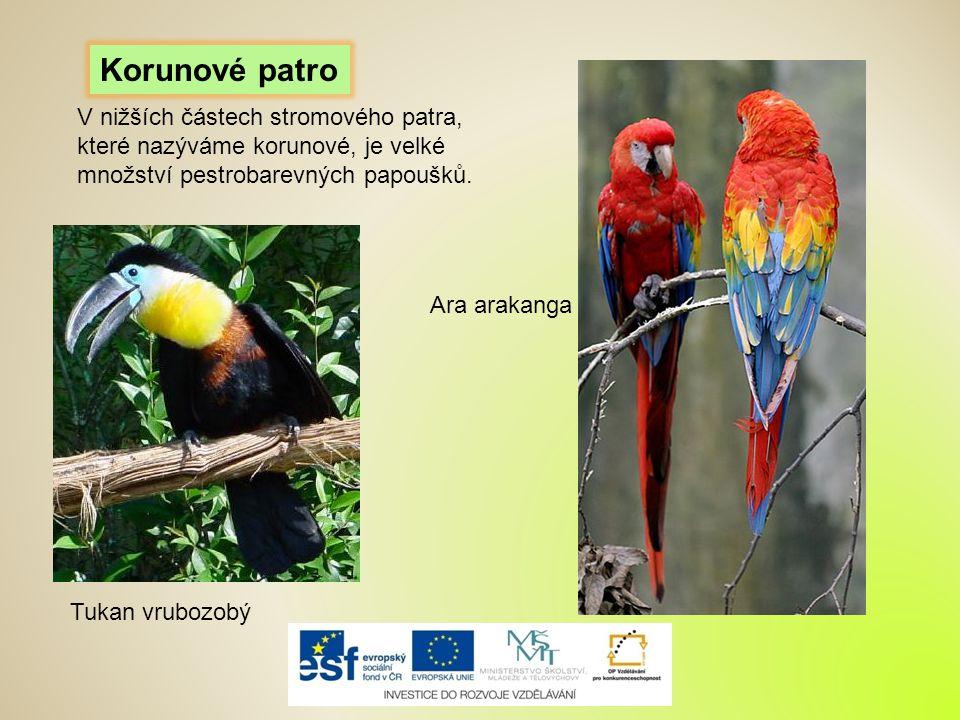 Tukan vrubozobý Ara arakanga Korunové patro V nižších částech stromového patra, které nazýváme korunové, je velké množství pestrobarevných papoušků.