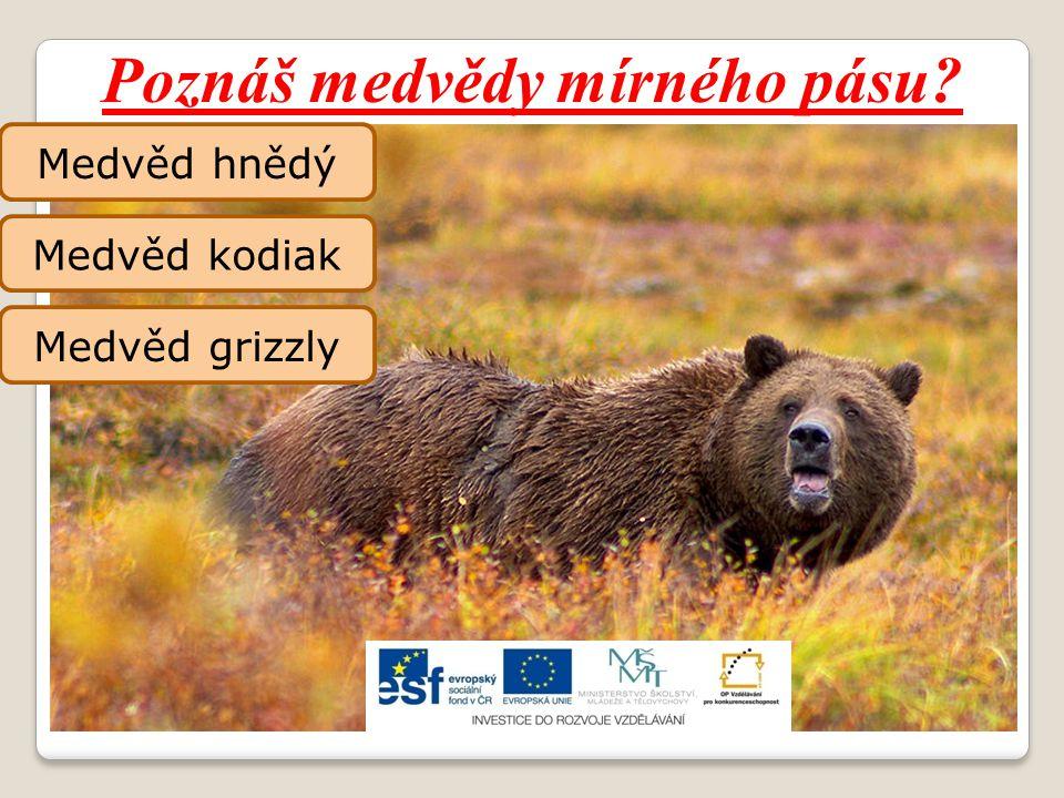 Poznáš medvědy mírného pásu? Medvěd hnědý Medvěd kodiak Medvěd grizzly