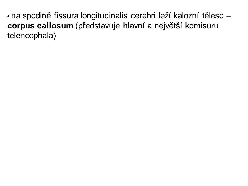 na spodině fissura longitudinalis cerebri leží kalozní těleso – corpus callosum (představuje hlavní a největší komisuru telencephala)