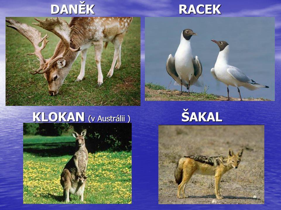 DANĚK RACEK DANĚK RACEK KLOKAN (v Austrálii ) ŠAKAL KLOKAN (v Austrálii ) ŠAKAL