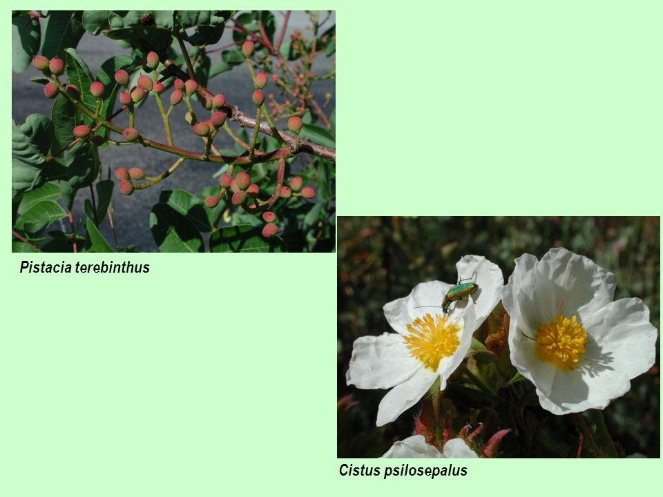 Cistus psilosepalus Pistacia terebinthus